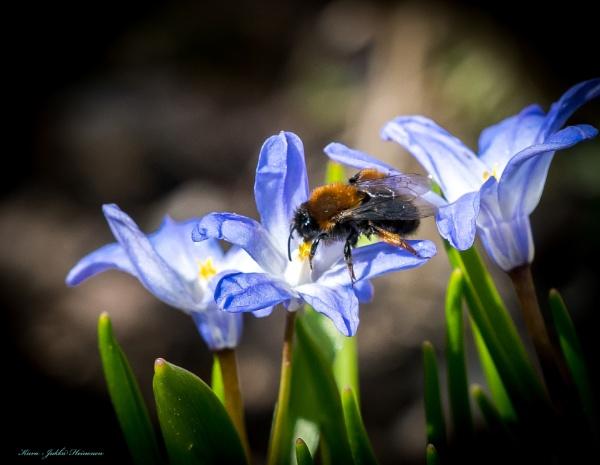 Bumblebee. by kuvailija