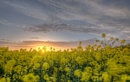Rape Field Sunset by carper123