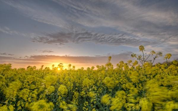 Rape Field Sunset by carper123