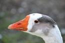 An  Original  Goose by tonyguitar