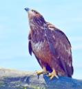 Eagle  VS  Eagle by tonyguitar