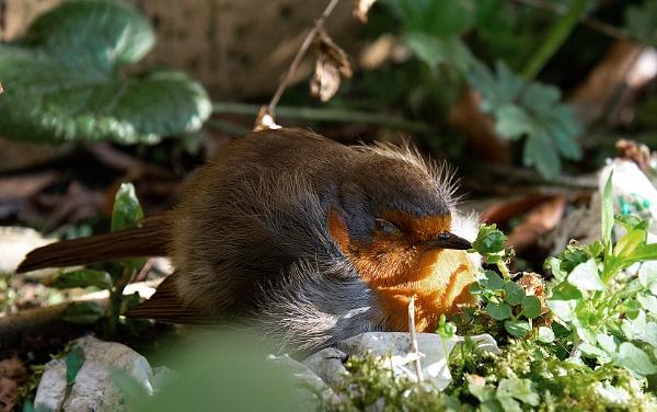 Sleeping Robin