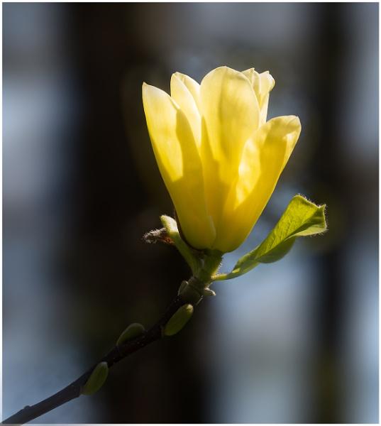 Magnolia by capto