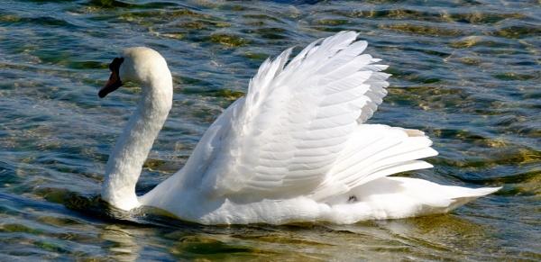 Angry Swan by Nikonuser1