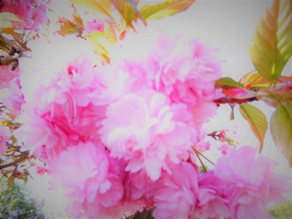 tree blosom by jenny007