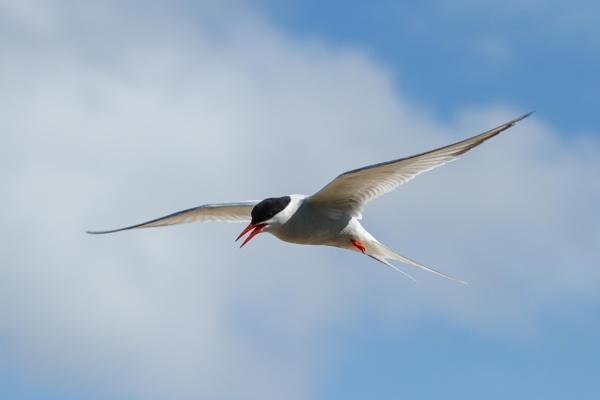 Tern by UKWanderer