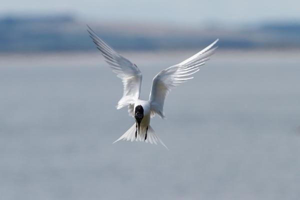Sandwich Tern by UKWanderer