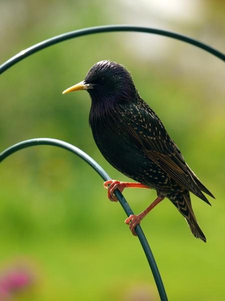 Starling by DerekHollis