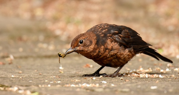 Blackbird vs Wasp by AlexAppleby