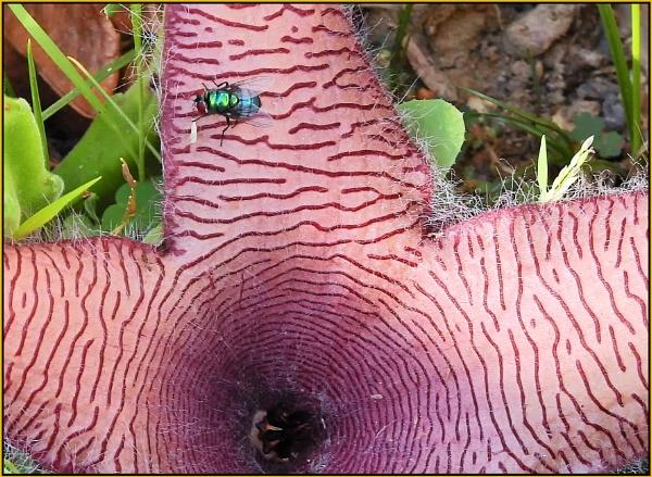 Stapelia spp with pollinator by fotobee