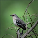 Northern Mockingbird by taggart