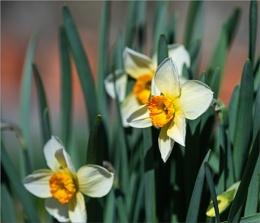 Daffodils again!