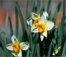 Daffodils again! by taggart
