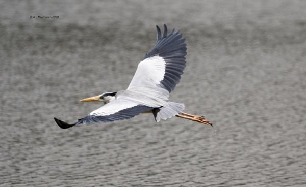 Grey Heron by Pari56