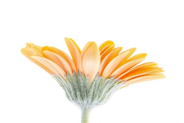 Orange Gerbera Daisy by lespaul