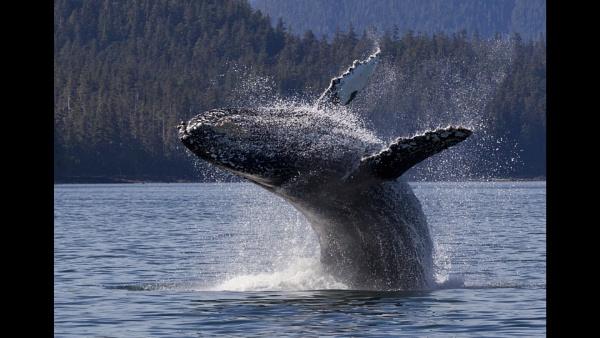Breaching Humpback Whale by Wildcamper