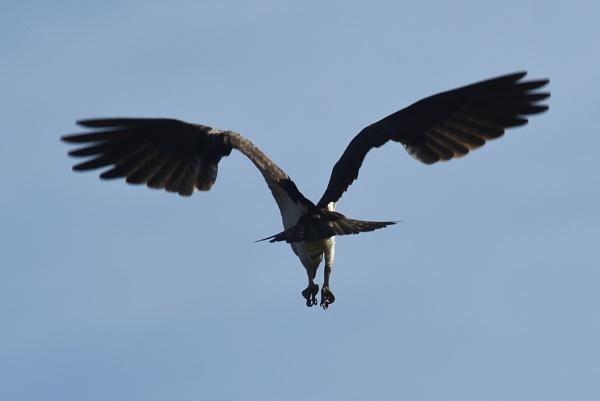 Osprey by KevinandSeri