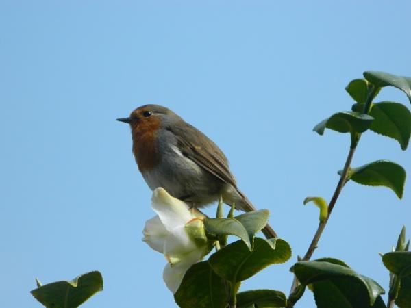 Robin Brings Spring by GrigoryAleksin