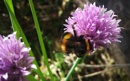 Bee On Chives. by Tooma