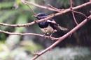 *** Oriental magpie-robin *** by Spkr51