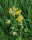 cowslips in the meadow by Janetdinah