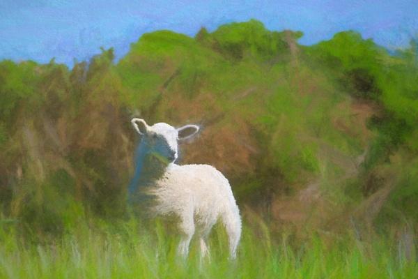 Lamb by sjr