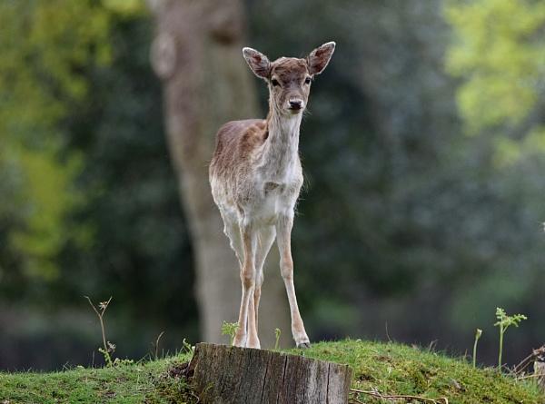 Fallow deer. by Glenn1487
