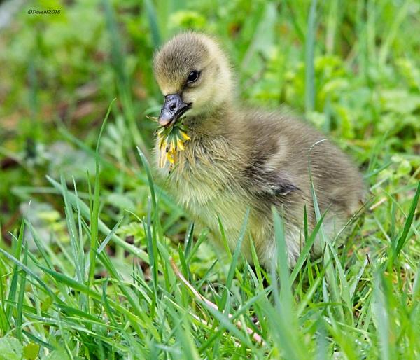 Greylag Geese (Anser anser) by DaveNewbury