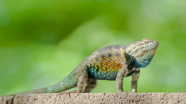 Desert Spiny Lizard doing push ups by makeupmagic
