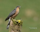 Male Sparrowhawk with Prey, a Siskin by KBan