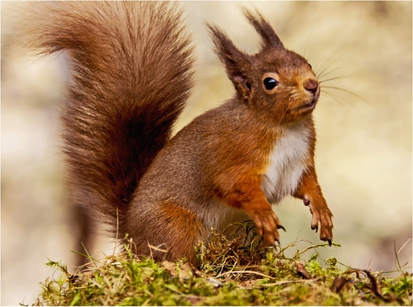 Red Squirrel 3 by dven