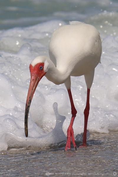 White Ibis at the beach by BHSDallas