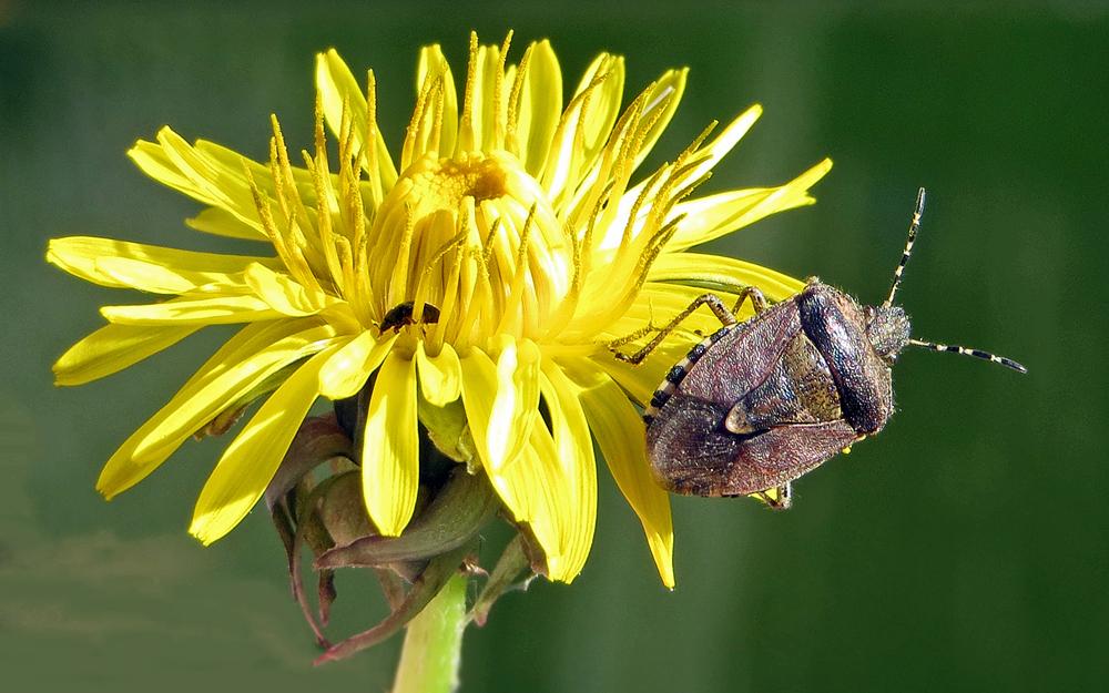 Sloe Bug & Friend