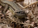 Common Lizard by Chrism8