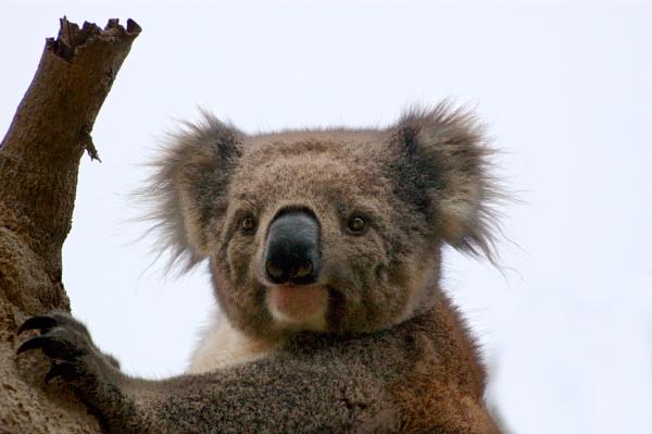 Koala by JN_CHATELAIN_PHOTOGRAPHY