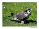 Bird of Prey by andrewrit