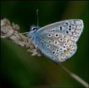 A Common Blue-Male..