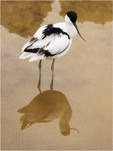 Pied Avocet. by franken