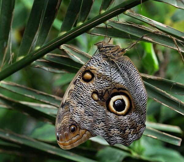 Owl Butterfly.  (Caligo memnon) by paulbroad