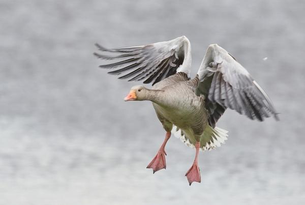 Grey Lag Landing by HenB
