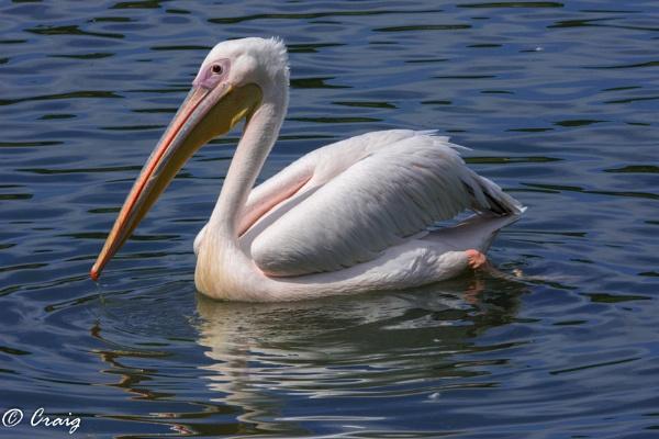 Pelican by Craig75