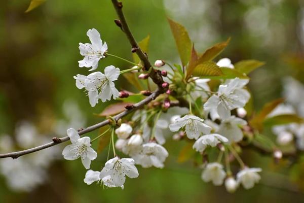 Spring blossom by huskybabe