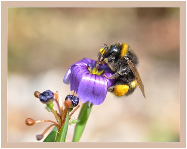 Another Bee from last summer by PhilT2