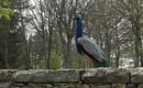 peacock on a wall by robthecamman
