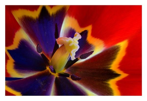 Tulip central by deavilin