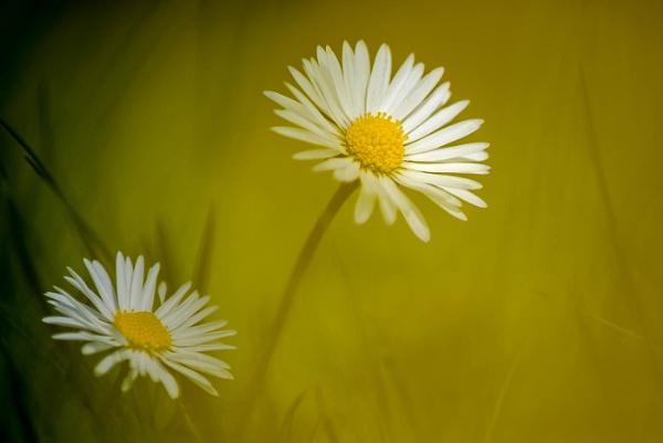 Daisies by flowerpower59