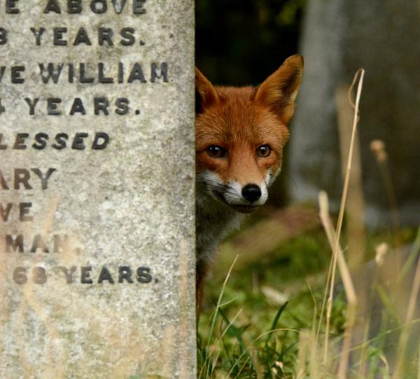 Fox by AlexAppleby