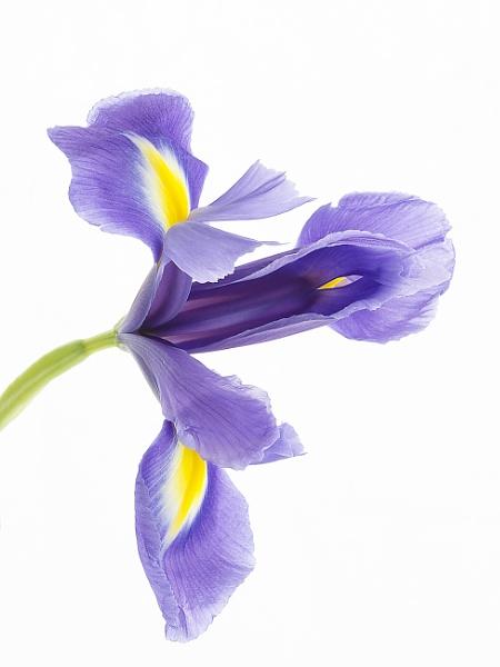 Iris by lespaul