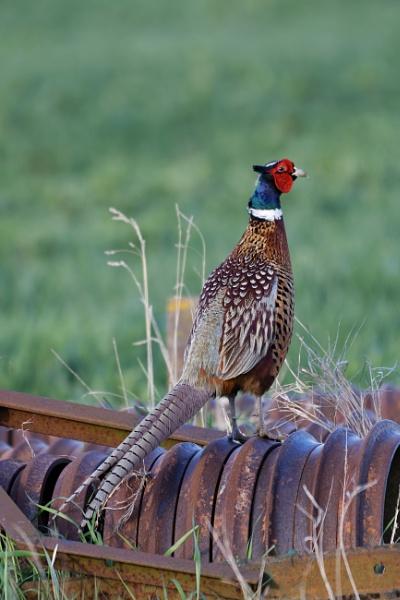 Pheasant by Wanilson