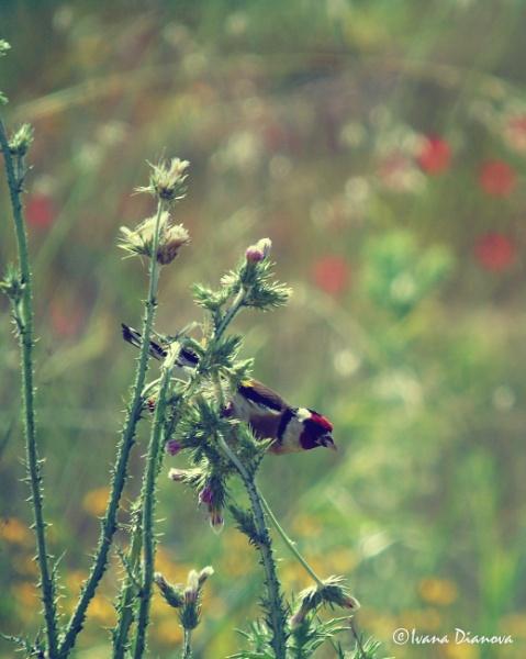 The European goldfinch by idiabb